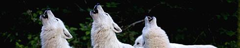 Dormir avec les loups en Lorraine aux hebergements insolites du parc animalier de sainte croix entre Strasbourg Nancy et Metz